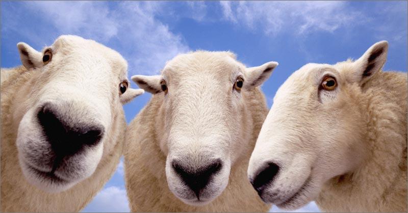 Овца и Лошадь